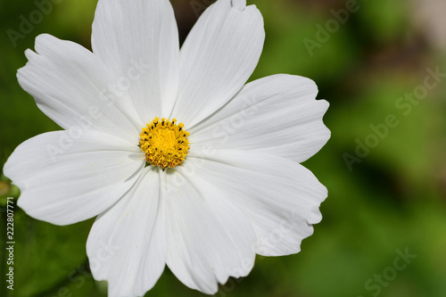 Close up of a white cosmos flower in bloom - 222807771
