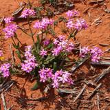 Pink Daisy (Schoenia cassiniana) endemic to Australia growing on red soil in the Australian Goldfields - 222809724