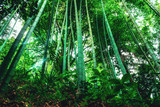 Bamboo trees with green leaves close-up in a botanical garden. Georgia, Batumi