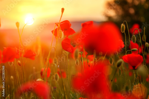 red poppies in the field in the sunset - 222833168