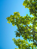 Green lush foliage of oak tree against blue sky background. Beautiful bright summer landscape.