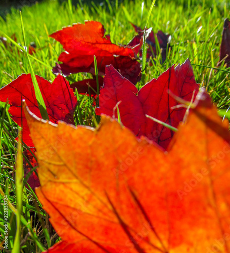 Red autumn leaves on green grass.Colorful view of nature on a bright sunny day close-up. - 222839724