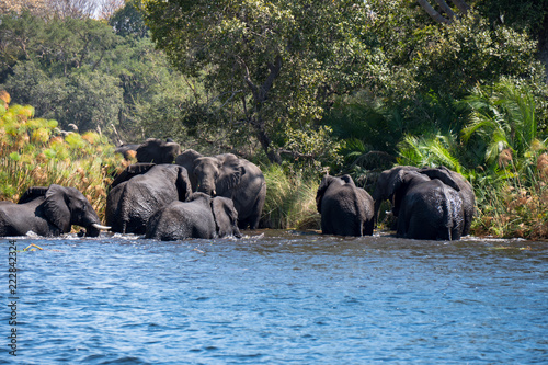 Fototapeta Elephants bathing in the Okavango Delta, Botswana
