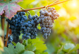 Red grapes of wine in wineyard, sunset light - 222843567