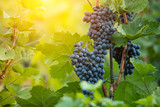 Red grapes of wine in wineyard, sunset light - 222843595