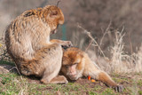 Barbary apes - Macaca sylvanus taking care of themselves - 222844972