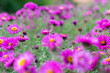 Leinwanddruck Bild - New england aster garden and a bee