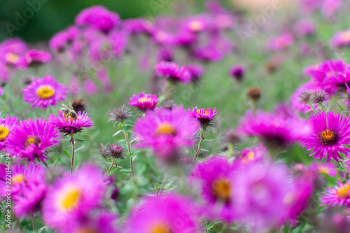 Leinwanddruck Bild New england aster garden and a bee