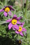 Сон-трава в саду  на клумбе.  - 222847348