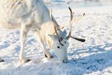 Reindeer in Northern Norway - 222852504