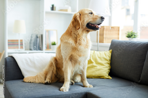 Young Fluffy Purebred Golden Retriever Sitting On Sofa In Living