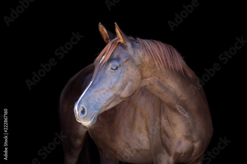 Chestnut horse isolated on black background