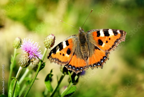 Butterfly urticaria close-up sits on a thistle flower on a sunny day - 222873150