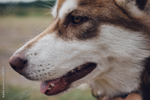 Happy Muzzle Siberian Husky Close Up Red Husky Dog Buy Photos