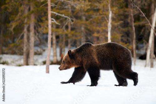 Brown niedźwiedź chodzi w śniegu