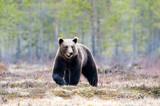 Brown bear in the taiga - 222894542