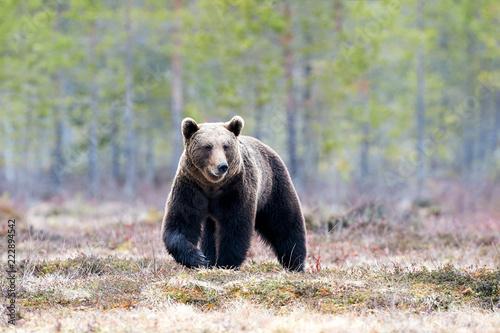 Niedźwiedź brunatny w tajdze