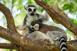 Lemur catta. - 222897307