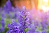 Blooming violet lavender flowers in sunny day - 222900509