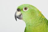 Portrait of green parrot