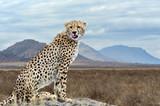 Wild african cheetah - 222922376