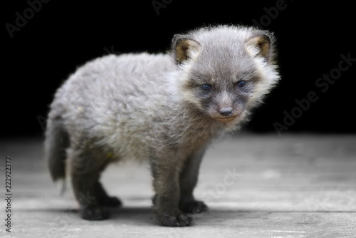 Fototapeta Baby silver fox