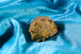 Seashell on a blue background - 222925926
