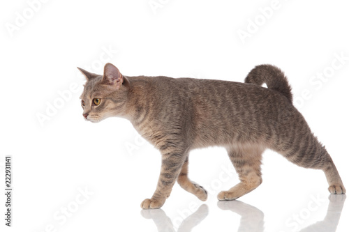 side view of grey metis cat walking to side