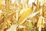 corn in the field - 222932558