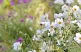 beautiful white windflowers in a flowerbed in garden  - 222935363