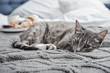 Grey cute cat lying on bed