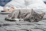 Grey cute cat lying on bed - 222939958