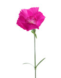 Carnation flower  of magenta color isolated on white background. Dianthus - 222950525