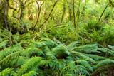 Dense thicket in the temperate rainforest, South Island, New Zealand. - 222950754