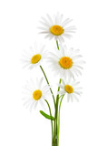 Bouquet of Chamomiles ( Ox-Eye Daisy ) isolated on a white background. - 222951172