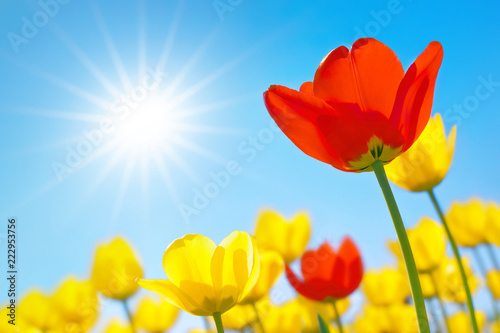 Tulips close-up against the blue sky with sun in shape of star