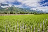 green rice farm - 222954190
