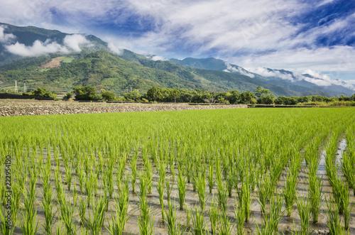 Foto Murales green rice farm