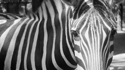 zebra in a zoo. animals from Africa. wild nature.