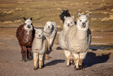 Group of curious alpacas in Bolivia - 222962930