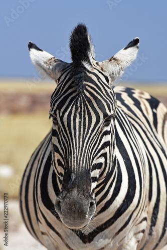 Fototapeta Steppenzebra (Equus quagga) im Etosha Nationalpark (Namibia)