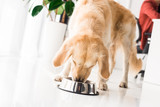 golden retriever eating food from dog bowl