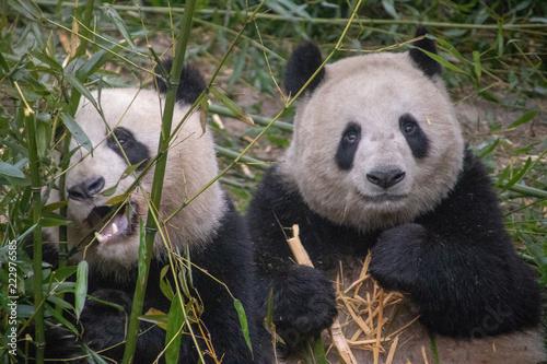 Fototapeta Chinese Pandas