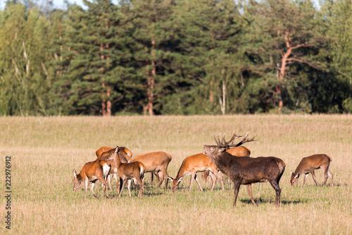 Fototapeta Red deer group with belling deer stag in autumn. Autumn landscape with herd of deer. Cervus Elaphus. Natural habitat.
