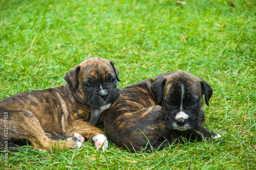 Foto Murales Boxer puppies lying on green grass