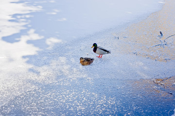Two ducks on ice