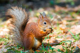 a squirrel with a nut - 222981997