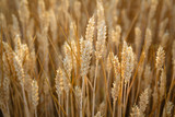Yellow wheats ear corn - 222994747