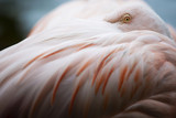 Close up flamingo.