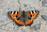 Butterfly Aglais urticae close-up sitting on the ground with stones top view